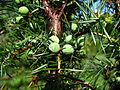 Juniperus communis cones MF.JPG