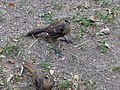 Juvenile Great-Tailed Grackle 3.jpg