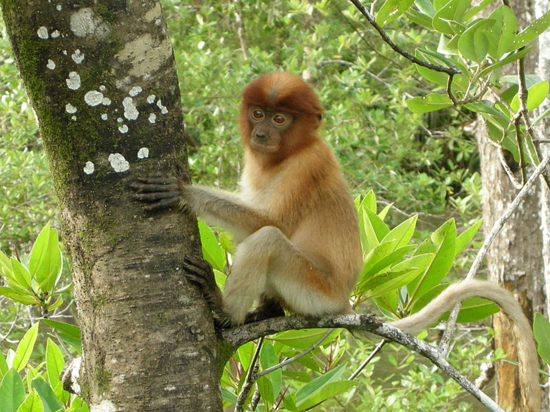 File:Juvenile Proboscis Monkey.jpg