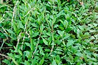 Kalimeris-indica-by-Taraxacumseeds-04.jpg