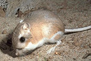 Castorimorpha - Ord's kangaroo rat