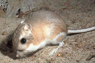 Castorimorpha suborder of mammals