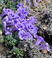 Karoo Violets (Aptosimum procumbens) (32509585126).jpg