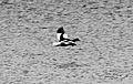 Kelp Goose (Chloephaga hybrida) (15333508784).jpg