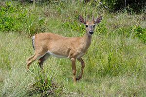 This image shows a Key Deer on Big Pine Key.