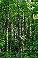 Kivertsi Volynska-Dubososnyna nature monument-trees-1.jpg