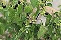 Kluse - Solanum nigrum - Schwarzer Nachtschatten 04 ies.jpg