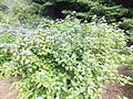 Kobe Municipal Arboretum in 2013-6-22 No,11.JPG
