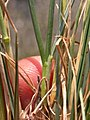 Koeleria macrantha (3811881852).jpg