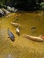 Koi in pond at Hakone Gardens.jpg