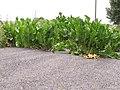 Korina 2011-07-29 Armoracia rusticana.jpg