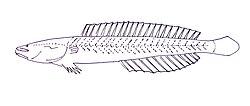 Kraemeria samoensis.JPG