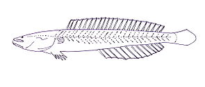 Kraemeria samoensis