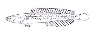 Kraemeriidae - Samoan sand dart (Kraemeria samoensis)