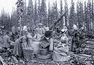 Hops - Hops harvest in the Kingdom of Bohemia (1898)