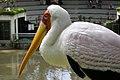 Kuala Lumpur Bird Park, Mycteria.jpg