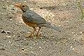 Kurrichane Thrush (Turdus libonyanus) (17277661725).jpg