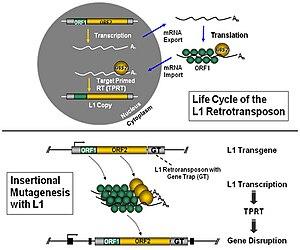 Knockout rat - L1 retrotransposon technology