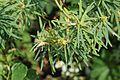 La Palma - Santa Cruz - Caserío Lomo de Los Gomeros + Euphorbia lamarckii 04 ies.jpg