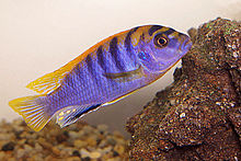 "Labidochromis sp ""hongi"" .jpg"