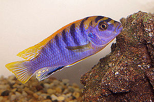 Haplochromine - A male of the undescribed (as of 2009) ''Labidochromis'' sp. 'Hongi Island'