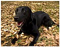 Labrador-Retriever-cross.jpg