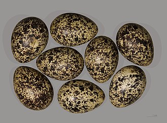 Red grouse - Red grouse eggs