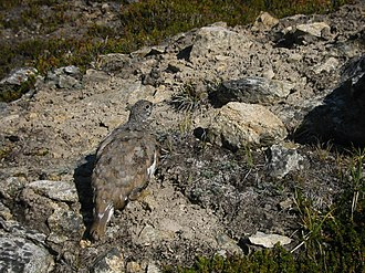 White-tailed ptarmigan - An individual with late summer plumage blends into subalpine tundra