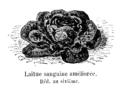 Laitue sanguine améliorée Vilmorin-Andrieux 1904.png