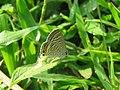 Lampides boeticus - Pea Blue at Aralam Wildlife sanctuary during Aralam butterfly survey 2020 (11).jpg