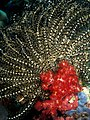 Lamprometra palmata (Feather star) with Dendronephthya sp. (Soft tree coral).jpg