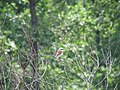 Lanius colurio, Djerdap NP, Srbija (86).jpg