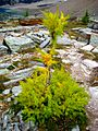 Larch (Larix lyallii), Alpine Circuit Hike, Yoho National Park.jpg