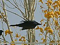 Large-billed Crow (Corvus macrorhynchos) (24071887092).jpg