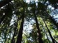 Large Sequoia Trees.JPG