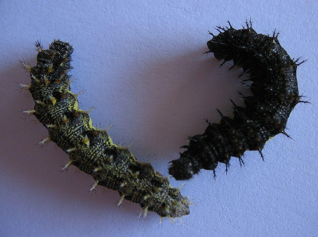 Babôčka admirálska (Vanessa atalanta) - larva (húsenica)