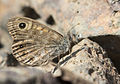 Lasiommata megera - Wall brown 01.jpg