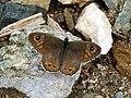Lasiommata petropolitana, Nymphalidae.jpg