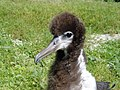 Laysan Albatross Chick (38916630221).jpg