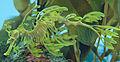 Leafy Seadragon Phycodurus eques 2500px.jpg