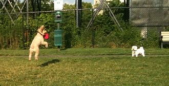 Disc dog - Cockapoo midair catching disc with canine onlooker
