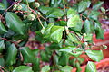 Leaves of rosa 3 2014-03-28.jpg