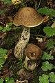 Leccinum griseum (36986964981).jpg