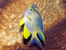 Lemon Damselfish, Bunaken Island.jpg