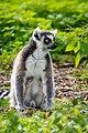 Lemur (37122966516).jpg