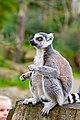 Lemur (37140332132).jpg