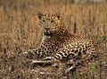 Leopard Kabini.jpg