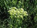 Lepidium draba flowerhead4 ST (15068118944).jpg