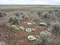 Lepidium papilliferum flowering in SW Idaho 7.jpg