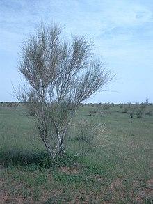 khip bush